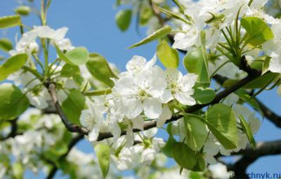 красивые цветы вишни