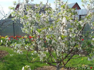 вишня любская дерево