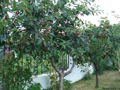 древовидный тип вишни
