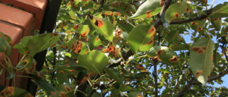 пятна ржавчины на листьях