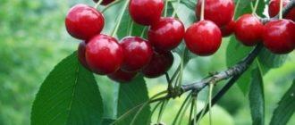 Плоды вишни молодежной