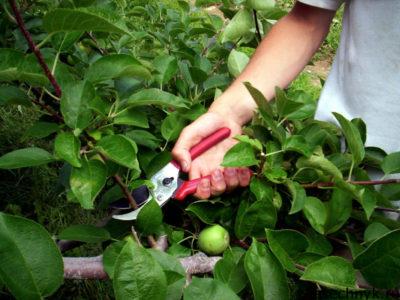 обрезка ветвей яблони