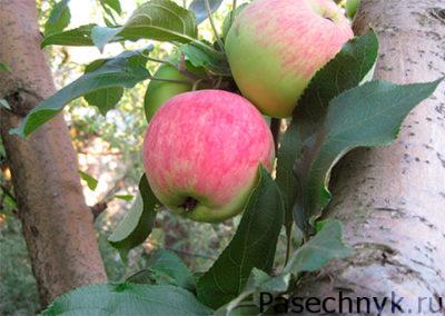 яблоня мантет фото