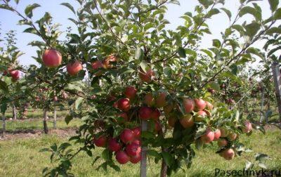 яблоня лигол дерево