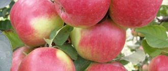 яблоня жигулевское фото