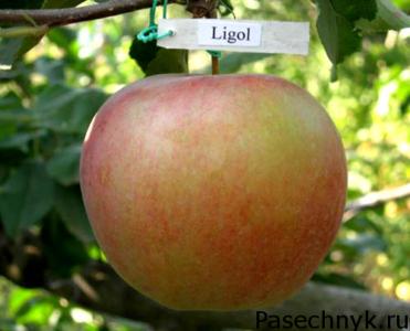 яблоня лигол плоды