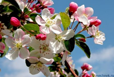 цветущая яблоня фото