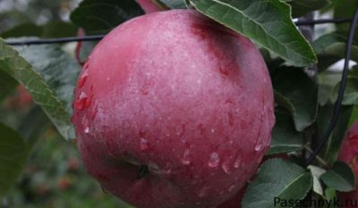 плод яблони спартан