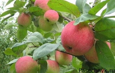 плоды яблони на дереве