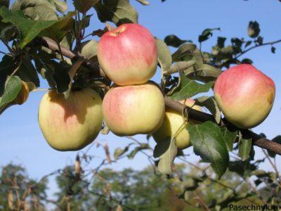 яблоня Ермаковское