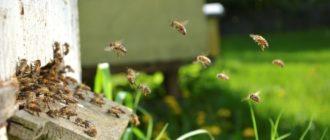 Пчёлы