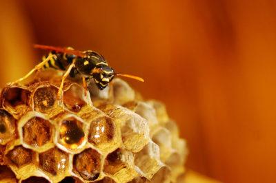 мед и оса
